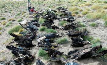 Misterio en Mendoza: aparecieron 34 cóndores muertos e investigan si fue por agroquímicos
