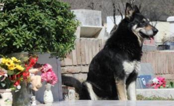 Murió Capitán, el perro que visitó la tumba de su dueño durante 10 años