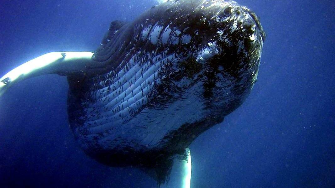 Encuentran elementos contaminantes en ballenas azules en el Hemisferio Sur