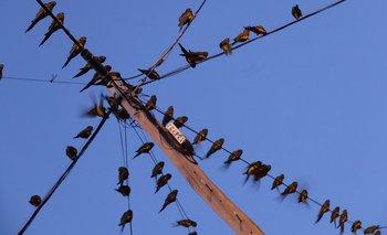 Los loros barranqueros, una pesadilla para la zona sur de Villarino
